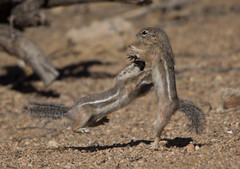 Ka-Pow! (cindyslater) Tags: kungfufighting wrestling mohavegroundsquirrel ninja kungfuchipmunk squirrel kungfusquirrel chipmunk goldenvalleyaz kungfu arizona kungfumaster kungfufighter alvinthechipmunk animal cindyslater