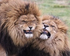 Say cheese.... (joannekerry) Tags: africanlion lion cats bigcats wildlife yorkshirewildlifepark canon nature