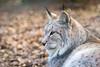 Eurasian Lynx Portrait (The Wasp Factory) Tags: eurasianlynx lynx nordluchs eurasischerluchs luchs lynxlynx tierparksababurg tierpark sababurg wildpark wildlifepark