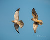 Northern Harriers 20140408_6252 (GORGEous nature) Tags: circuscyaneus ecology hawks klickitatco northernharrier raptors sex spring vertebrates washington bird courtship flying pair predator prey april ©johndavis