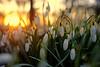 Snowdrops, Sunset (JinxiPhotography) Tags: snowdrop flower sunset light ray blur maro uk sun golden soft