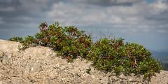 web3000_Mallorca-171016-1941 (Burnett0305) Tags: autumn balearicislands balearischeinseln fall grün herbst majorca mallorca nikonafs24120mmf40vr nikond750 pflanzen spain spanien espana green plants