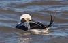 Long-tailed Duck - male (Clangula hyemalis) (Gavin Edmondstone) Tags: clangulahyemalis longtailedduck male duck lakeontario bronteharbour brontecreek oakville ontario