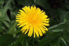 Smile on Saturday (Sunny Yellow) (PDX Bailey) Tags: dandelion flower macro yellow green bright 7dwf smileonsaturday sunnyyellow