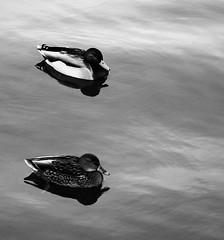 6Q3A0358 (www.ilkkajukarainen.fi) Tags: espoo sea meri water vesi visit happy life travel traveling suomi suomi100 eu europa scandinavia haukilahti mallards mallardit mallard sinisorsa bird linnut lintu blackandwhite mustavalkoinen