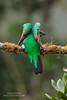 Female Resplendent Quetzal (www.NeotropicPhotoTours.com) Tags: quetzal resplendentquetzal angelwings bird naturephotography photography phototours essenceofcostarica juancarlosvindas nature wildlife colorimage pharomachrusmocinno