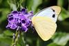 Yellow Albatross Butterfly 027 (DMT@YLOR) Tags: yellowalbatrossbutterfly yellow white brown geishagirl garden tree bush shrub goodna ipswich queensland australia leaf leaves