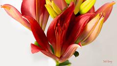 Vibrant-display_DSC8564 (Mel Gray) Tags: asianlilies flowers flowersarebeautiful flowermacro macroflower macro nikond810