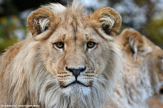 African lion - Olmense Zoo
