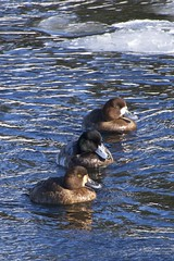 _DSC0537 (Helengale) Tags: greaterscaups duck male nfld cbs avalon