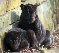 jaguar Artis BB2A6383 (j.a.kok) Tags: jaguar jaguarcub jaguarwelp zwartejaguar blackjaguar artis animal zoogdier zuidamerika southamerica predator kat cat mammal dier pantheraonca