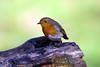 Pettirosso (MaOrI1563) Tags: pettirosso parcodellapianadisestofiorentino parcodellapiana sestofiorentino firenze fauna cacciafotografica uccelli oasi poderelaquerciola