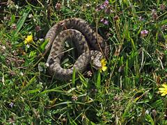 Adder (Philip_Goddard) Tags: europe unitedkingdom britain british britishisles greatbritain uk england southwestengland nature naturalhistory animals vertebrates reptiles snakes serpentes viperidae vipers vipera viperaberus adder viper