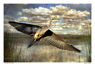 Great Blue Heron ~ Surprise