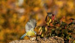 Ali per volare lontano (Danilo Agnaioli) Tags: cinciallegra natura bird umbria italia perugia inverno canon7dmarkii sigma150500