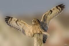 Short-eared Owl / Hibou des marais (shimmer5641) Tags: asioflammeus shortearedowl hiboudesmarais owlsfamily birdsofbritishcolumbia birdsofnorthamerica raptor birdsofprey