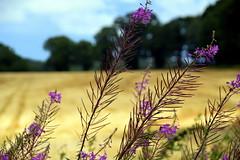 Rosebay Willowherb (Worthing Wanderer) Tags: norfolk summer sunny cloudy farmland august blicklingpark bure nationaltrust park parkland pathfinderguides path