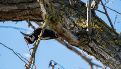 Hairy Woodpecker - DSC_1563 (SumBerd) Tags: nikon d500 tamron 150600mm lagoon valley park vacaville california wildlife birds avian hairy woodpecker