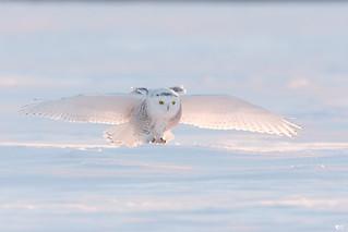 ''Omoplates!'' Harfang des neine-snowy owl