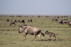 Unlucky Newborn Calf.... (Hector16) Tags: ndutu wildebeestmigration eastafricawildlife tanzania serengeti migration greatmigration nature shinyangaregion tz newborn birth calf