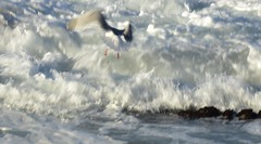 liftoff (Kristen Fletcher Photography) Tags: seagull feathers flight ocean waves oceanwaves pacificgrove pacificocean coast coastline rockyshore rockycoast