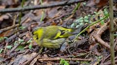 Erlenzeisig (Oerliuschi) Tags: erlenzeisig carduelisspinus natur birds nahaufnahme panasonicgh5 lumixvario100300