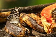 Still Life With Fruit And Butterfly (gecko47) Tags: fruit bananas papaya butterfly insect lepidoptera nymphalidae greycracker hamadryasfebrua costarica foundargentinatomexico centralamerica puntarenas cerrolodge overripe