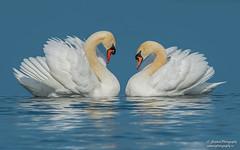 Mute swan (salmoteb@rogers.com) Tags: bird wild outdoor wildlife nature mute swan toronto canada water ontario
