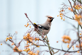 Waxwing   -explored #365 17.2.18