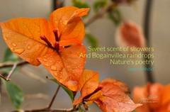 Daily Haiku: Bogainvillea Raindrops (James Milstid) Tags: dailyhaiku haiku haiga poetry jemhaiku bogainvillea raindrops mothernature motherearth nature