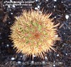 xPacherocactus orcuttii (Pic #3 apex detailed close up) (mattslandscape) Tags: xpacherocactus orcuttii pachgerocereus yellow flower cereus pachycereus xpachgerocereus mexico baja california cactus cacti kakteen pringlei x bergerocactus emoryi intergeneric hybrid
