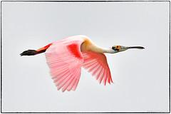 Roseate Spoonbill (view large) (RKop) Tags: alafiabnaks tampa florida raphaelkopanphotography d500 nikkor600f4evr tripod wildlife