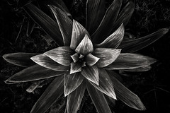 New Zealand alpine daisy (JaniceNZ) Tags: flower plant nature alpine shape texture star newzealand celmisia leaves monochrome bnw