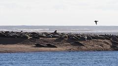 M2173508 E-M1ii 300mm iso200 f5.6 1_1600s SingleAF (Mel Stephens) Tags: 20180217 201802 2018 q1 16x9 wide widescreen uk scotland aberdeenshire olympus mzuiko mft microfourthirds m43 300mm pro omd em1ii ii mirrorless newburgh river ythan beach animal animals nature wildlife seal seals coast coastal best