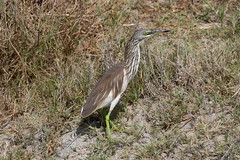 Indian Pond Heron at Taqah S24A5558 (grebberg) Tags: indianpondheron ardeolagrayii ardeola heron bird taqah dhofar oman december 2017