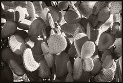 Desert Botanical Gardens IR #1 2018 (hamsiksa) Tags: gardens botanicalgardens plants flora xerophytes succulents cacti cactus cactacea opuntia desertplants sonorandesert blackwhite arizona phoenix infrared digitalinfrared infraredphotography