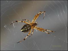 6252 Fa  Neoscona adianta (Walckenaer, 1802) A member of Orbweavers Family Araneidae  2014 S 2496 MeragInsCvj_24 (Morton1905) Tags: 20140622 6252 fa araneus 2496 meraginscvj24 orbweaver neosconaadianta walckenaer 1802 orbweavers family araneidae 2014s2496