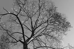 Ipê-amarelo (Johnny Photofucker) Tags: ipê ipêamarelo lightroom preto branco nero bianco black white bw pb árvore albero alberi noiretblanc 24mm tiradentes minasgerais mg brasil brazil brasile flor fiore flower