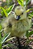 Gosling (poormommy) Tags: yellow goose gosling beginnerdigitalphotographychallengewinner