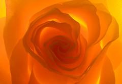 Rose (Rich Lukey) Tags: rose flower macro closeup nikon d7100 sigma 50mm orange abstract backlit backlight