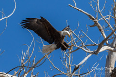 Bald Eagle leaps to another branch