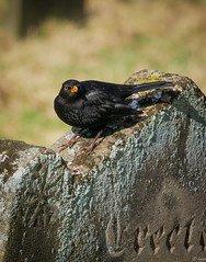 Angry Bird III (Hector Patrick) Tags: lightroom614 northyorkmoors northyorkshire panasonicgxvario45175pz rosedaleabbey flickrelite weather blackbird bird naturaleza nature wildbirds