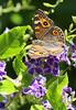 Meadow Argus Butterfly 004 (DMT@YLOR) Tags: butterfly meadowargusbutterfly geishagirl flower leaf stem purple wings goodna ipswich queensland australia closeup detail colour tree