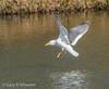 Yellow Legged Gull (Ponty Birder) Tags: g b wheeler pontybirder garywheeler birdsinflight gulls gloucester