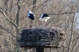 Ein Weißstorchpaar hat sich bei dieser klirrenden Kälte schon auf ihrem Horst eingefunden