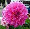 DALIA (cannuccia) Tags: fiori flowers natura nature dalie rosa tink excellentsflowers