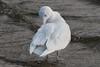 Glaucous Gull-105 (davidgardiner8) Tags: birds glaucousgull greatermanchester gulls hollingworthlake littleborough rochdale