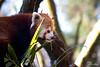 Red Panda #3 (Rolf Sch.) Tags: red fox zoo wildlife dierenpark amersfoort tree nature animal panda