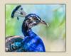 Proud as a Peacock! (tvj21) Tags: peacock bird nikon florida capecanaveral