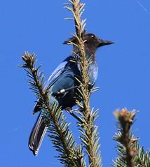 Steller's Jay [Coastal] Cyanocitta stelleri [stelleri Group]) 10-26-2017 Pt. Reyes Bird Observatory--Palomarin, Marin Co. CA 2 (Birder20714) Tags: birds california jays corvidae cyanocitta stelleri